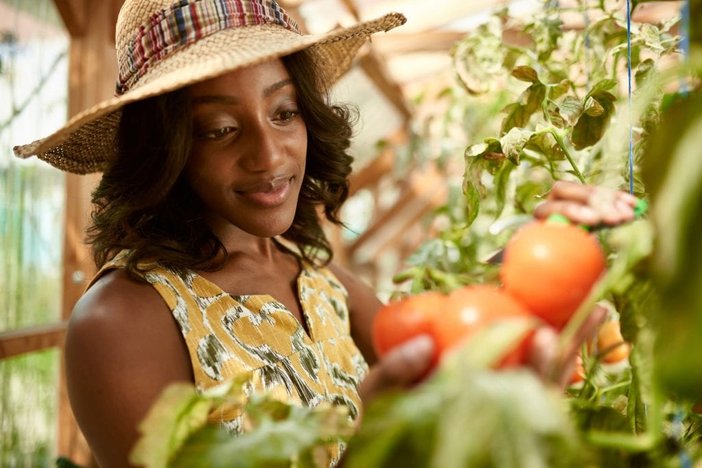 Black woman harvesting fresh tomatoes from the greenhouse garden putting ripe local produce in a basket.