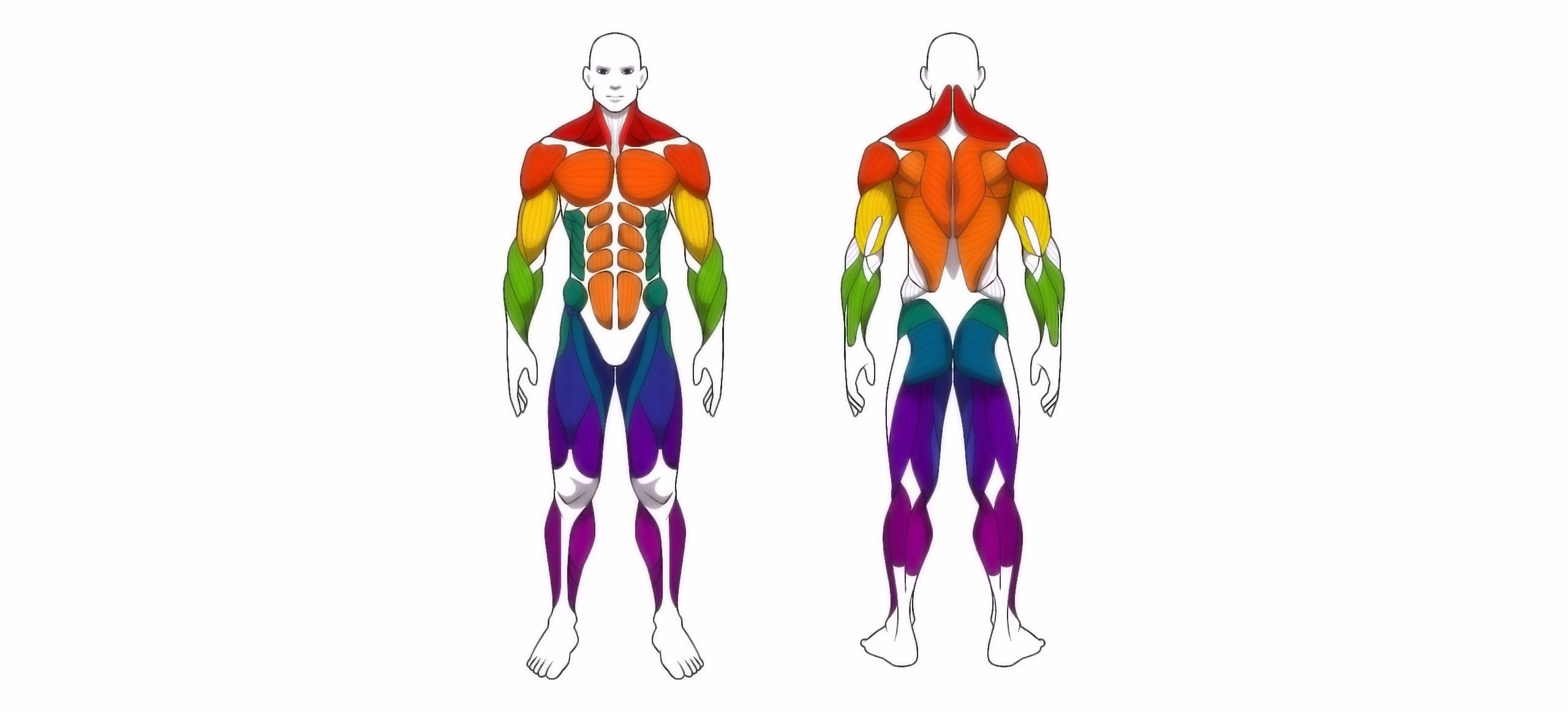 human body anatomy workout, front and back muscular system of muscle groups parts . flat medical scheme poster of training healthcare gym , vector illustration
